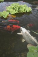 Koi Fish Photo by Aquascapes
