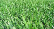 Turf-Type Tall Fescue