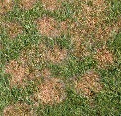 Summer Lawn Diseases