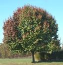 Bradford pear tree showing some fall foliage
