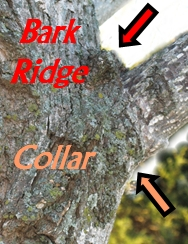 Showing Branch Bark Ridge and Branch Collar