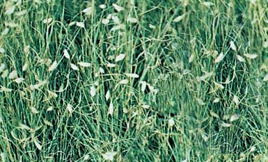 Buffalo Grass with Seed Heads