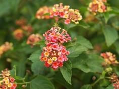 Lantana Confetti are Hardy Summer Long Bloomers