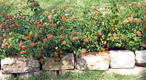 Hardy Lantana Confetti Plants