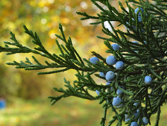 Eastern Red Cedar Branch with Berries