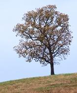 Lone Oak Tree on a Hill