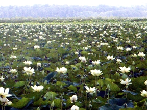 Louisiana Swamp Loaded with Lily Pads