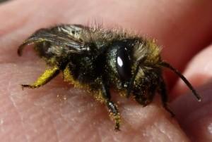 Gentle Mason Bee Sitting on a Hand