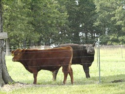 Missouri Bulls
