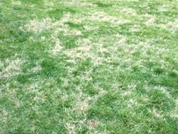 Winter Dormant Nimblewill in a Fescue Lawn