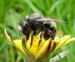 Mason Bee on a Dandelion