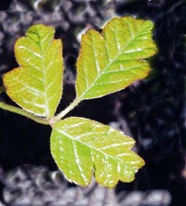 Young Poison Oak Leaves