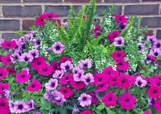 Red and Purple Flowers for Containers