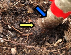 Showing Root Flare in Container Grown Tree