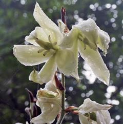 White Yucca Blossoms