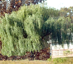 Weeping Willow Tree in Front Yard