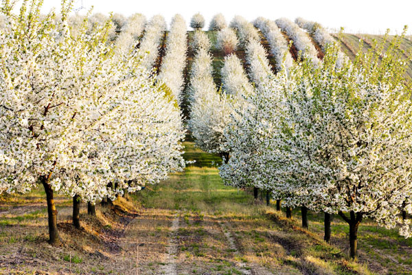 An Orchard in Bloom