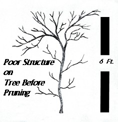 Young Tree Before Pruning