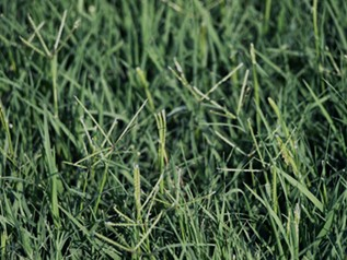 Bermudagrass Lawns