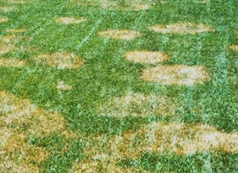 Brown Patch Disease On Tall Fescue