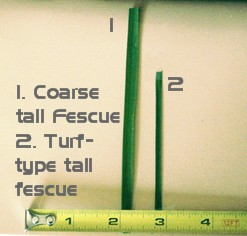 Coarse Tall Fescue vs. Turf type Tall Fescue