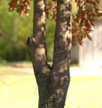 Oak Tree Codominate Stems
