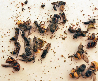 Leaf Cutter Bees and Beneficial Wasps