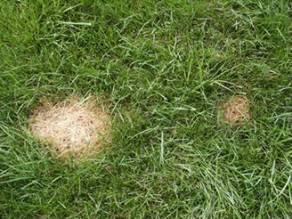Dollar Spot Disease on Fescue