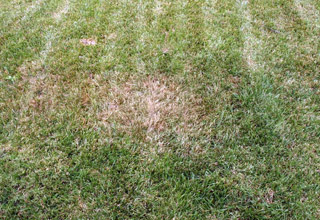 Dry Patch over Clay Soil