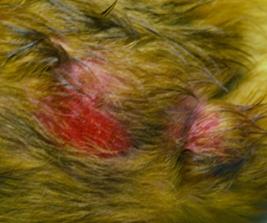 Flea Bites Causing Bloody Sores on Dog