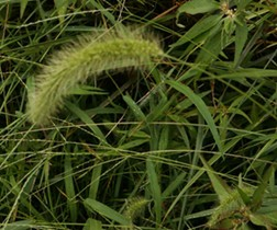 Giant Foxtail Seed Head