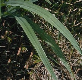 Giant Foxtail Leaves