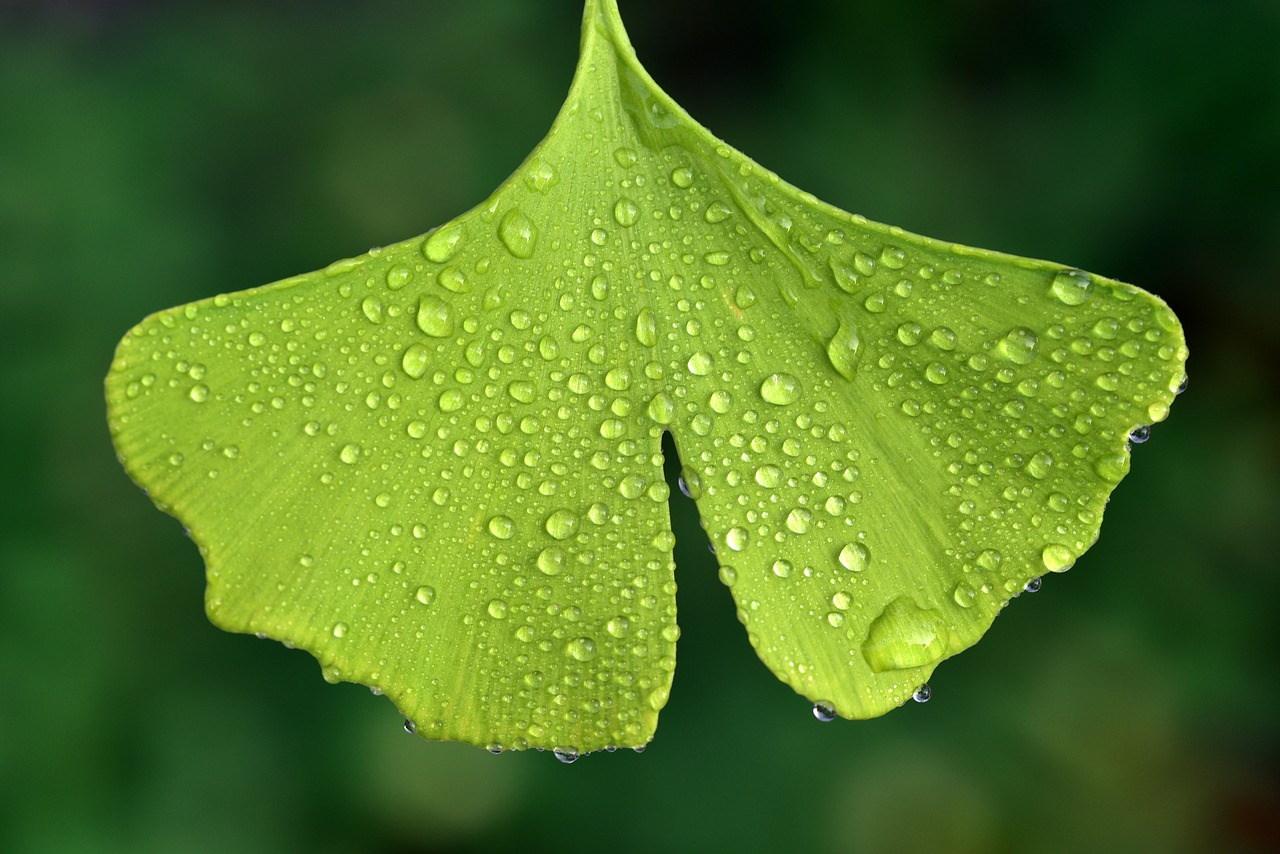 Ginko Tree Leaf