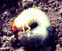 Grubs can be Destructive to Lawn Grasses