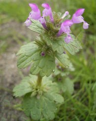 Henbit Cone Shaped Flower