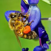 Honeybee with Bulging Pollen Baskets in Legs