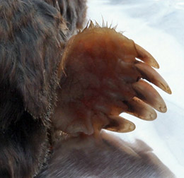 A Mole's Over-sized Digging Claws