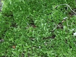 Moss Growing in Lawn
