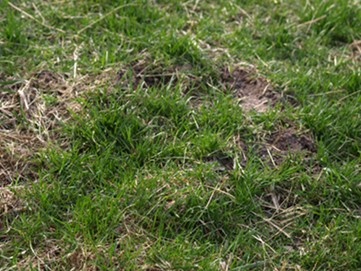 Lawn Moles and Voles