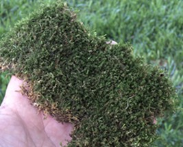 A Patch of Lawn Moss