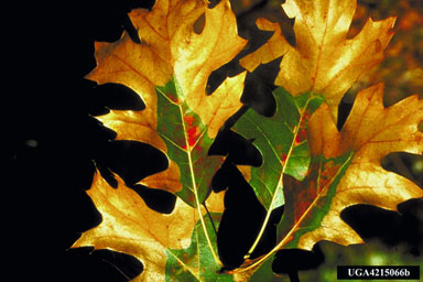 Oak Wilt Leaf Symptoms