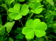Oxalis also called Yellow Woodsorrel Lawn Weed