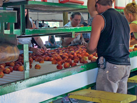 Packing Peaches on the Bader Farm