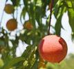 Bill Bader Peach Orchard