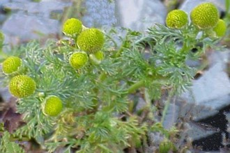 Pineappleweed Summer Annual Lawn Weed