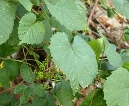 Poison Ivy Plant Hiding Under a Kudzu Vine
