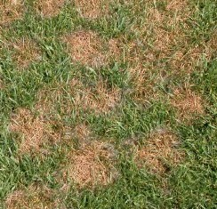 Symptoms of Pythium Blight Lawn Disease