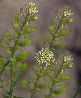 Virginia Pepperweed Seed Head Cluster