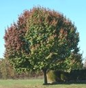 Bradford pear tree showing some fall foliage