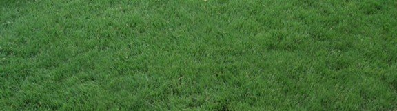 Turf-type Buffalo Grass